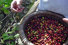 Giá cà phê tăng nhưng nhiều hộ nông dân vẫn chưa vội bán.