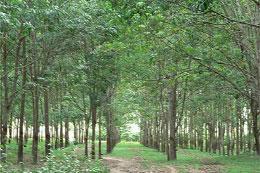 Tập đoàn Công nghiệp Cao su Việt Nam sẽ đầu tư phát triển trồng cây cao su tại Mozambique.