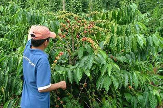 Nguồn cung cà phê có thể sẽ vẫn khan hiếm vào cuối năm bởi các nhà xuất khẩu đang tạm dừng giao dịch để chờ vụ mới.