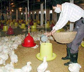 Người chăn nuôi đang phải mua thức ăn chăn nuôi với giá quá đắt.