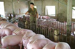 Chăn nuôi trong nước vẫn đáp ứng đủ nhu cầu tiêu dùng của thị trường nội địa.