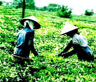 Thời tiết khô hạn ở nhiều nước trồng chè trọng điểm trên thế giới trong những tháng đầu năm đã khiến sản lượng chè năm 2009 được dự báo sẽ giảm.