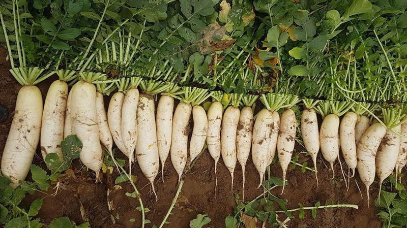Bộ Nông nghiệp lên tiếng việc nông dân nhổ bỏ hàng tấn rau