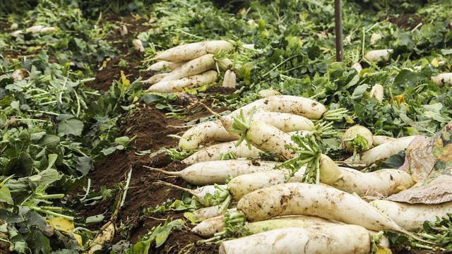 Rau cải bị nhổ bỏ hoặc để thối trên đồng ruộng do không tìm được thương lái thu mua.