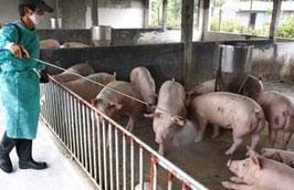 Giá thịt lợn trên thị trường gần đây tăng cao đã động viên những người sản xuất đẩy mạnh việc tái đàn sau dịch.