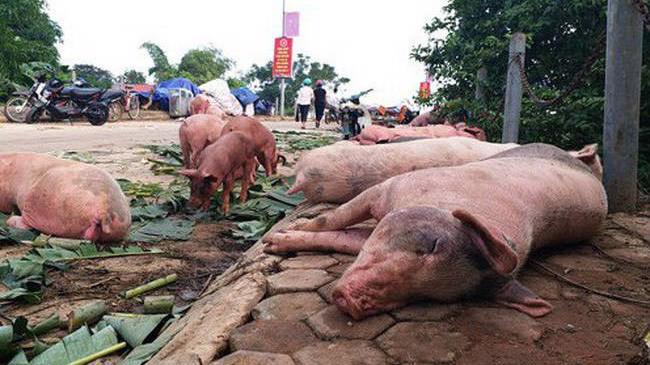 Thống kê trong hơn 1 tháng qua, tổng số lợn mắc bệnh và tiêu hủy đã lên đến 23.442 con. Ảnh minh họa