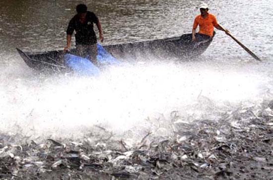 Nhu cầu với cá tra được đánh giá vẫn còn tăng trưởng trong xu hướng chung trên thị trường thế giới.