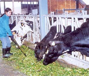 Trải qua nhiều giai đoạn cam go, đàn bò sữa của Tp.HCM nay đã lên tới hơn 60.000 con.