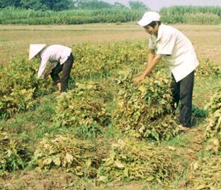 Thân cây đậu nành vò viên xuất khẩu giá 250 USD/tấn (0,25 USD/kg).