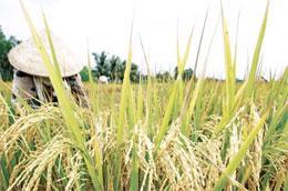 Giá lúa tăng mạnh đã khiến cho nông dân trồng lúa vô cùng phấn khởi, nhưng khi bán rồi thì lại cảm thấy tiếc nuối, nhưng giữ lúa lại chờ giá thì hầu như không người nào dám.