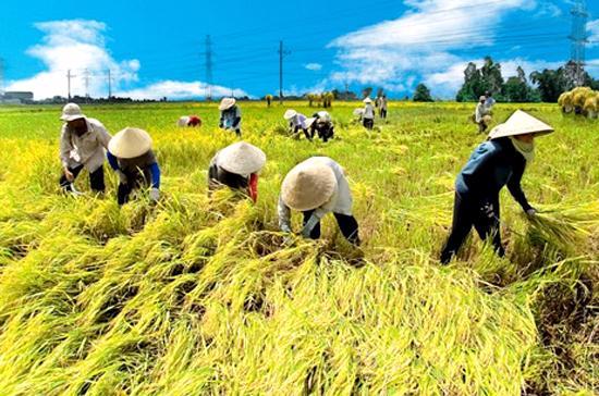 Giá gạo có thể tăng do chịu tác động từ giá thế giới.