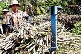 Giá mía tại đồng bằng sông Cửu Long đang cao nhất từ trước đến nay.