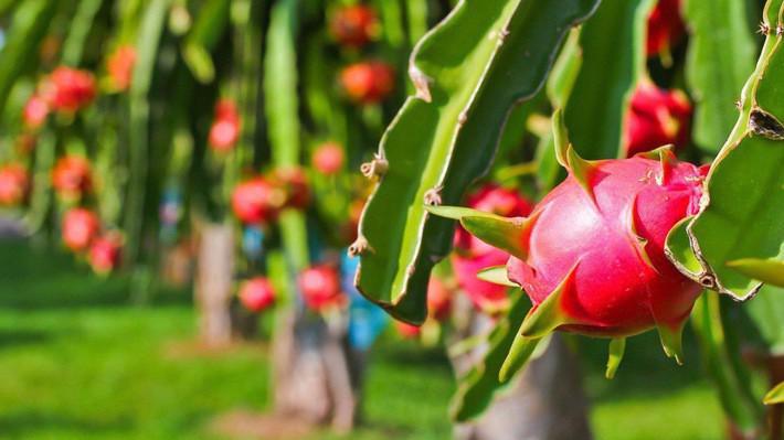 HAGL cho biết, doanh thu trái cây tăng 472 tỷ đồng so với cùng kỳ năm ngoái do diện tích thu hoạch trái cây tăng.