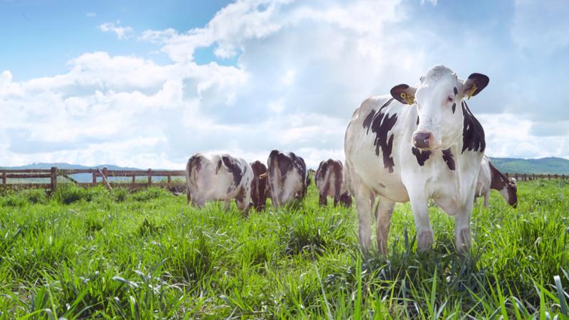 Cùng với hệ thống 10 trang trại quy mô công nghiệp, hiện nay Vinamilk đang quản lý đàn bò sữa gần 140.000 con.