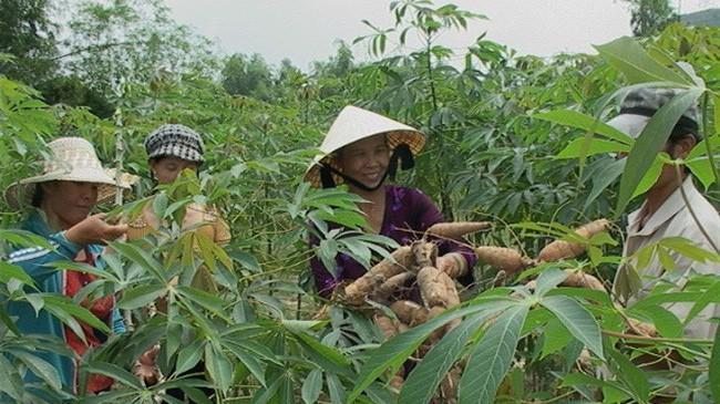 Diện tích trồng sắn tại Campuchia có thể giảm từ 20-30%. Do vậy, tình hình nguyên nhiên liệu sắn của Việt Nam niên vụ 2017-2018 sẽ rất nóng.
