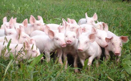 Theo tính toán, Hoà Phát sẽ bắt đầu cung cấp lợn thịt, lợn giống từ  đầu năm 2018 và đặt mục tiêu 650.000 đầu lợn vào năm 2021 - Ảnh minh hoạ.<br>