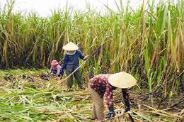Niên vụ 2009-2010, đất trồng mía đã tăng từ 275.000 ha lên 290.000 ha.