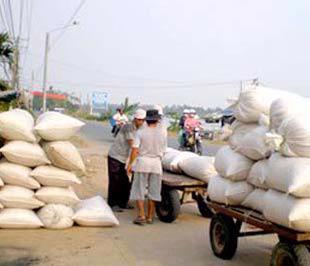 Nhiều nông dân khi thu hoạch xong đã bán ngay vì sợ giá lúa giảm.