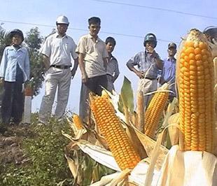 Hạt giống bắp biến đổi gien liệu có thay thế hạt giống bắp lai?