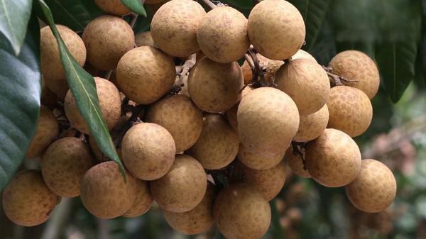 Nhãn là đặc sản ở Việt Nam và được trồng chủ yếu ở phía Bắc.