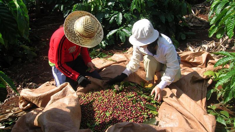 Cà phê giảm giá là do sức ép dư cung trên thị trường cà phê toàn cầu.