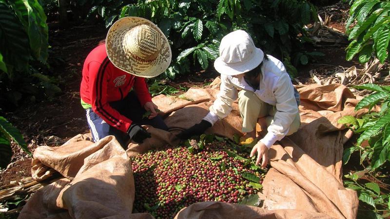 Tồn kho cà phê cuối niên vụ 2018/19 toàn cầu được dự đoán tăng sau 3 năm suy giảm liên tiếp.
