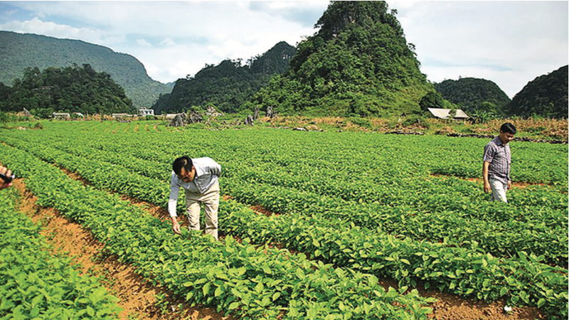 Một trong những vùng trồng dược liệu của Traphaco