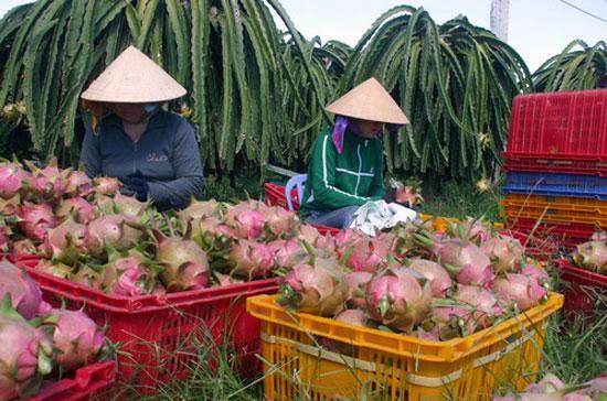 Thanh long Việt Nam là loại trái cây rất được ưa chuộng tại thị trường EU.