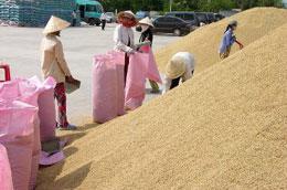 Việc thu mua lúa sẽ được tổ chức lại hợp lý hơn.
