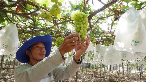 Hình ảnh tại Hợp tác xã Nho Evergreen Ninh Thuận. Ảnh: Internet.