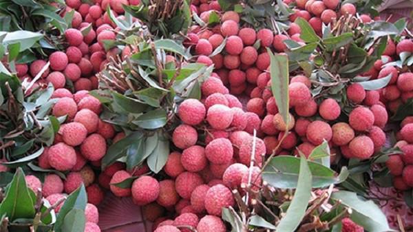 Hơn 99% vải thiều xuất khẩu của Bắc Giang sang thị trường Trung Quốc.