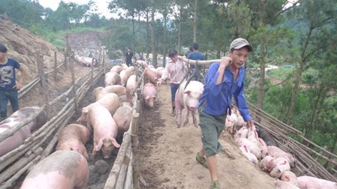 Số lượng lợn xuất khẩu sang thị trường Trung Quốc tăng nhẹ, nhưng tỷ  trọng thấp nên thực tế ít ảnh hưởng tới thị trường trong nước.