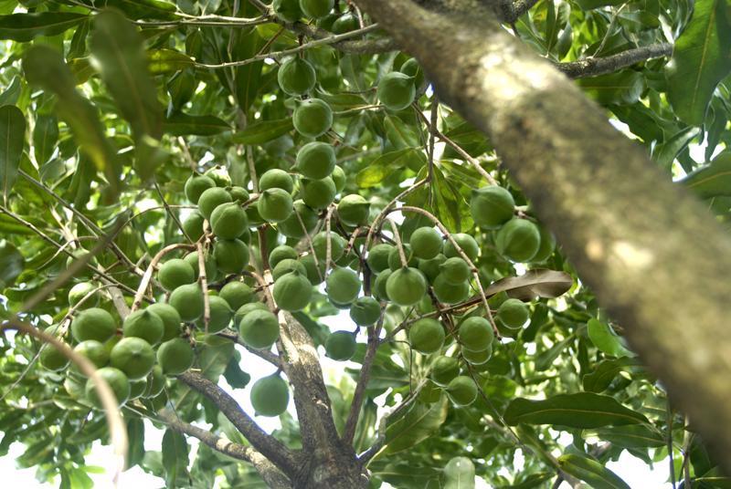 Một cây mắc-ca 5 năm tuổi bắt đầu ra quả.<br>