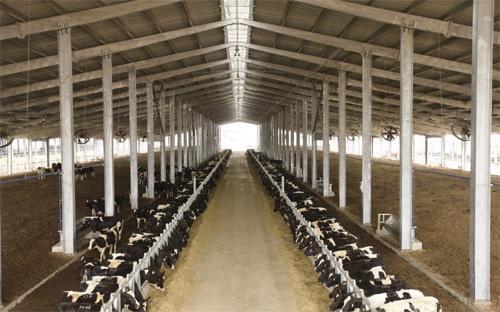 """Một trang trại nuôi bò sữa của tập đoàn TH tại Nghệ An. Mãi sau gần 5 năm """"lên bờ xuống ruộng"""" vì thiếu tiền, đến nay dự án  này mới được các bộ ngành, đặc biệt là Ngân hàng Nhà nước để mắt tới."""