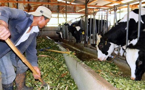Giá sữa giảm đã làm nhiều hộ chăn nuôi bò sữa gặp khó khăn - Ảnh minh họa.<br>