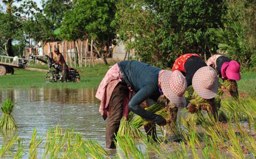 67% gạo xuất khẩu của Campuchia vào thị trường châu Âu; 11% vào châu Á và 27% đến các thị trường khác - Ảnh: Khmer Times.<br>