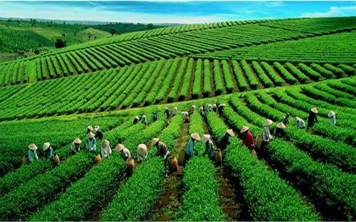 Một vùng nguyên liệu trồng chè của Vinatea.
