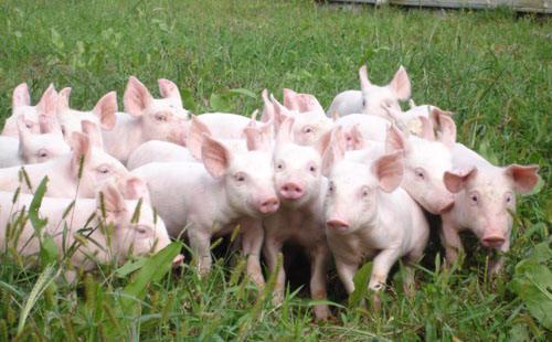 Nguyên nhân giá tăng là do các thương lái đang thu gọm lợn hơi để xuất bán sang Trung Quốc.<br>
