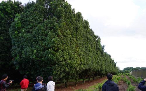 """Tại Úc đã có những khu vườn mắc-ca """"cổ thụ"""", còn tại Việt Nam đã hai mươi năm thử nghiệm mà doanh nghiệp chưa biết làm thế nào để tạo vườn cây đầu dòng khi cửa nhập khẩu chính ngạch đóng chặt.<br>"""