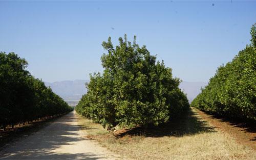 Sau khi chứng minh được giá trị kinh tế, nhiều trang trại gia đình tại Nam Phi đã phát triển nhanh và tạo những vùng nguyên liệu mắc-ca hút tầm mắt.<br>