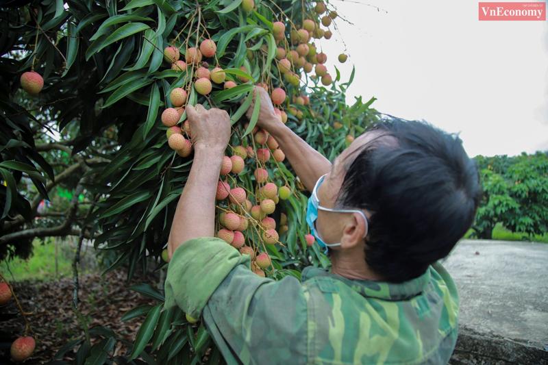Chất lượng trái vải sớm tại Hải Dương bảo đảm tiêu chuẩn tiêu thụ ở các thị trường cao cấp của thế giới. Ảnh: Phương Thảo.