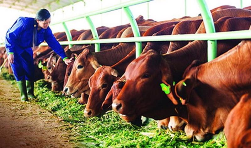 Nhiều giống bò thịt cao sản đã được chăn nuôi tại Việt Nam.