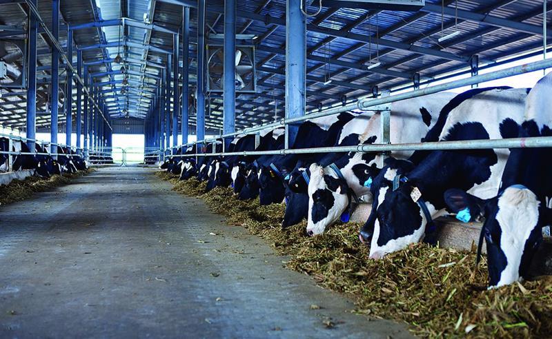 Tính đến thời điểm 31/12/2020, cả nước có 331.368 con bò sữa, tăng 4,29% so với năm 2019.