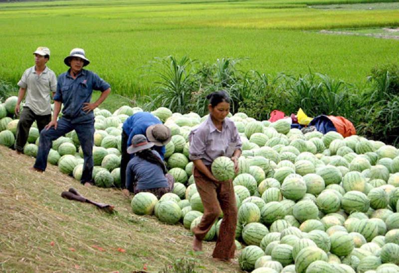 Tình trạng được mùa mất giá liên tục xảy ra trong nông nghiệp.