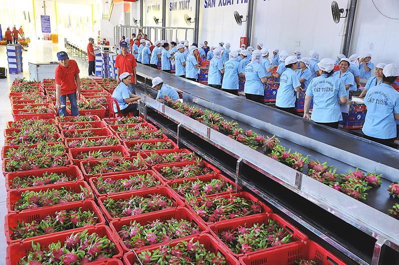 Thanh long là một trong 5 loại quả được cấp phép xuất khẩu vào Hàn Quốc