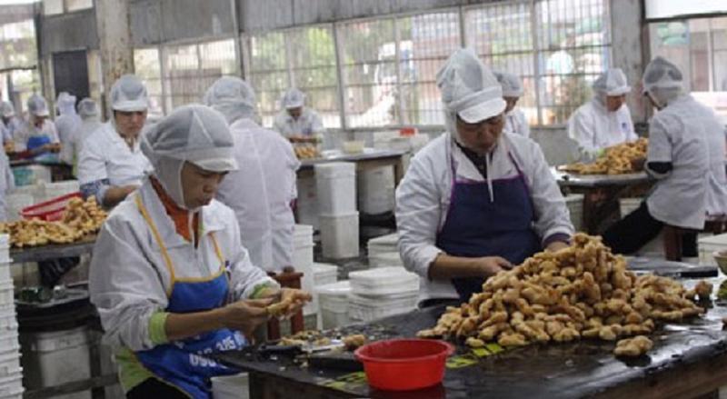 Gừng Việt Nam có dư địa tăng trưởng xuất khẩu vào Australia.