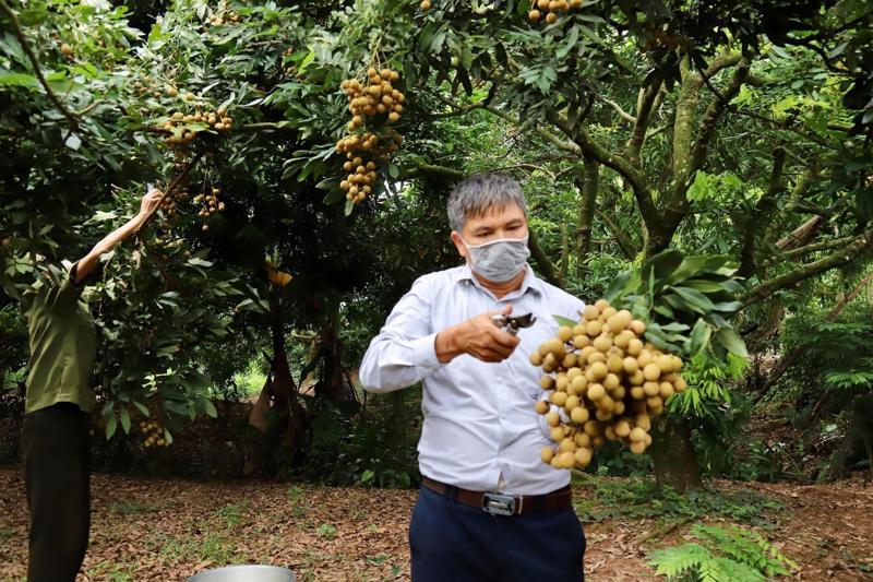 Năm 2021, sản lượng nhãn Hưng Yên ước đạt khoảng 50.000-55.000 tấn