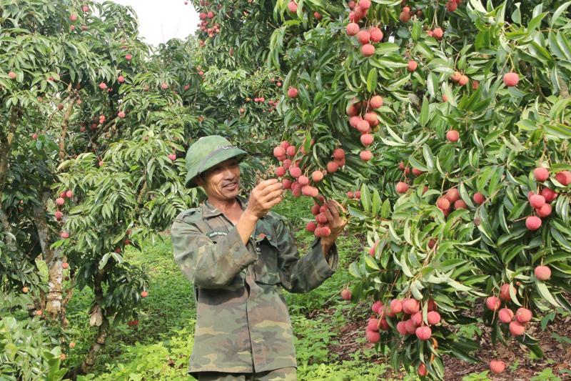 Niềm vui của chú Mến (chủ vườn vải xuất Nhật, Bắc Giang) khi vải được mùa, bán chạy.