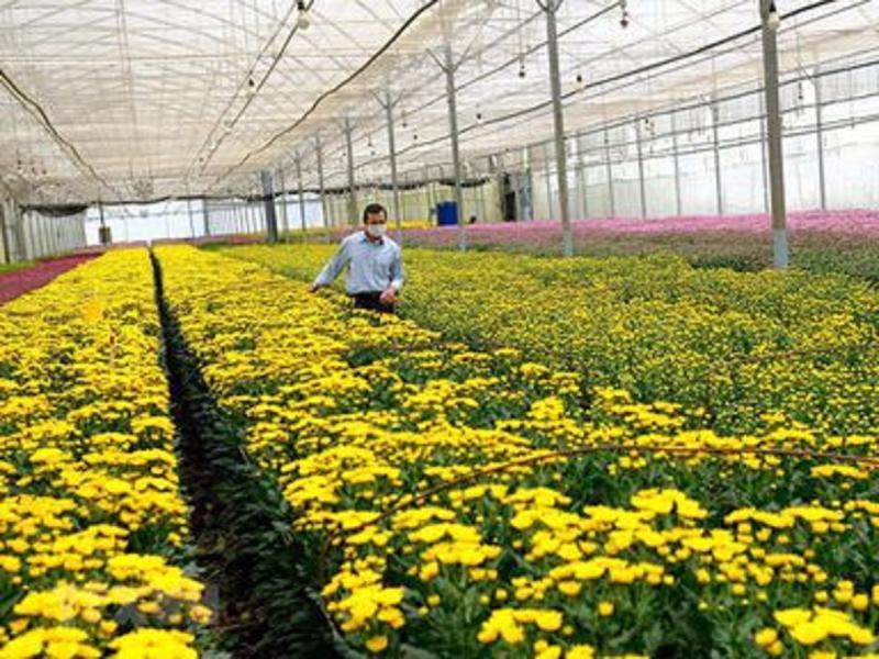 700 nghìn cành hoa cúc xuất khẩu phải hủy bỏ vì vướng quy định