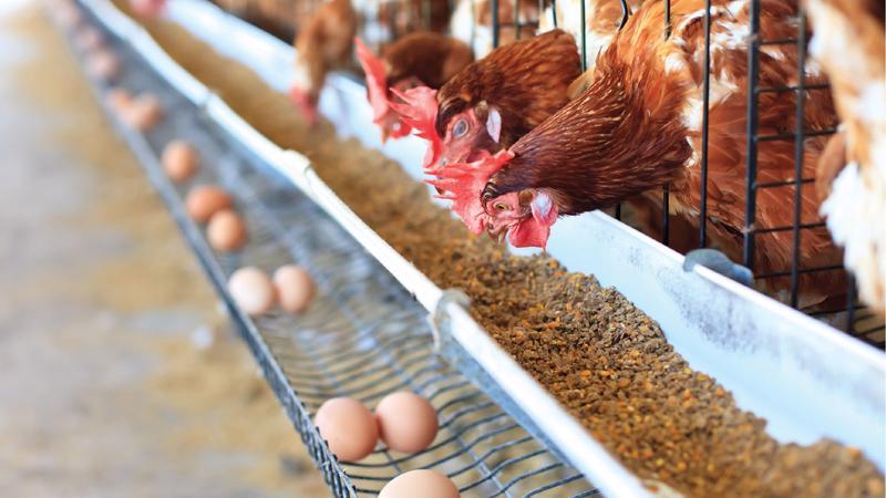 Người dân miền Tây Nam bộ vốn không có thói quen dự trữ trứng gia cầm, nhưng từ khi nhiều địa phương áp dụng giãn cách xã hội họ lại tích trữ rất nhiều khiến hụt nguồn cung cho TP.HCM.